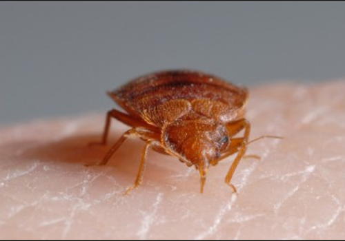 We can remove these Bed Bugs