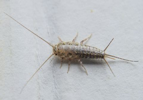 Silverfish infestation can cause a big problem in your home or business