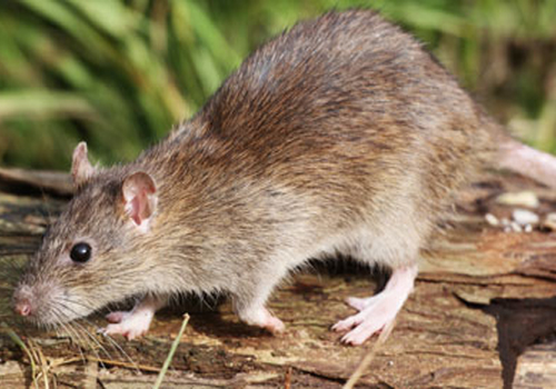 We can remove disease carrying rats