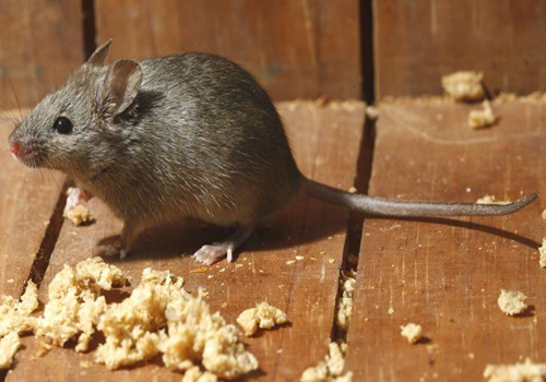 Mice are common pesky pets in homes and businesses